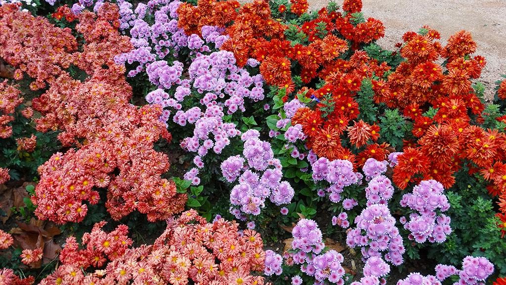 Разные сорта хризантем в Никитском ботаническом.