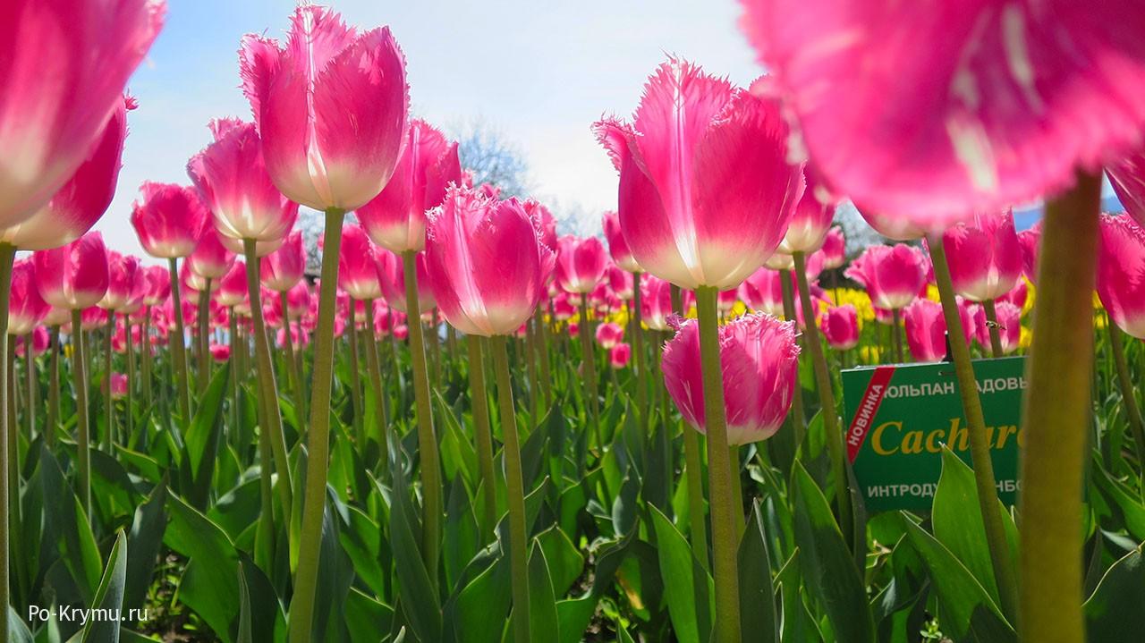Выставка тюльпанов в Никитском ботаническом саду. ЮБК