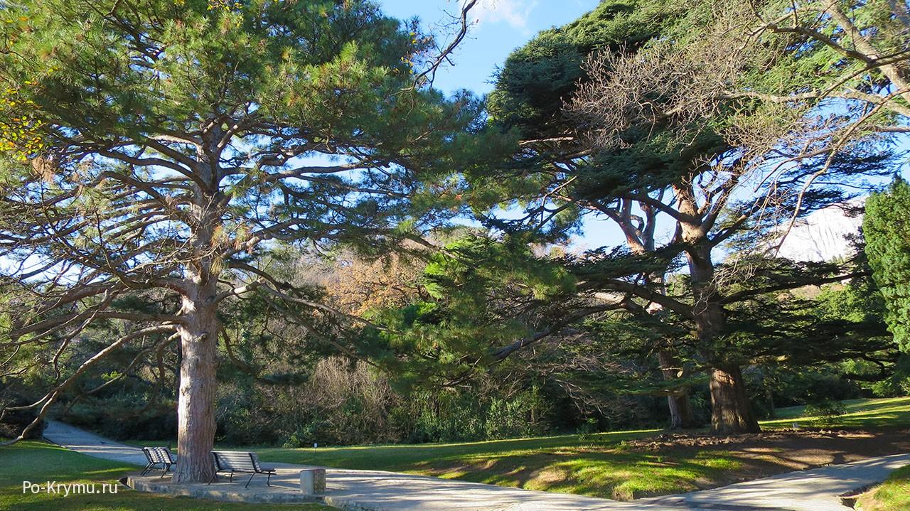 Хвойные великаны Алупкинского парка.