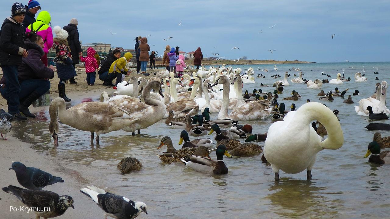 Лебеди зимуют в Севастополе