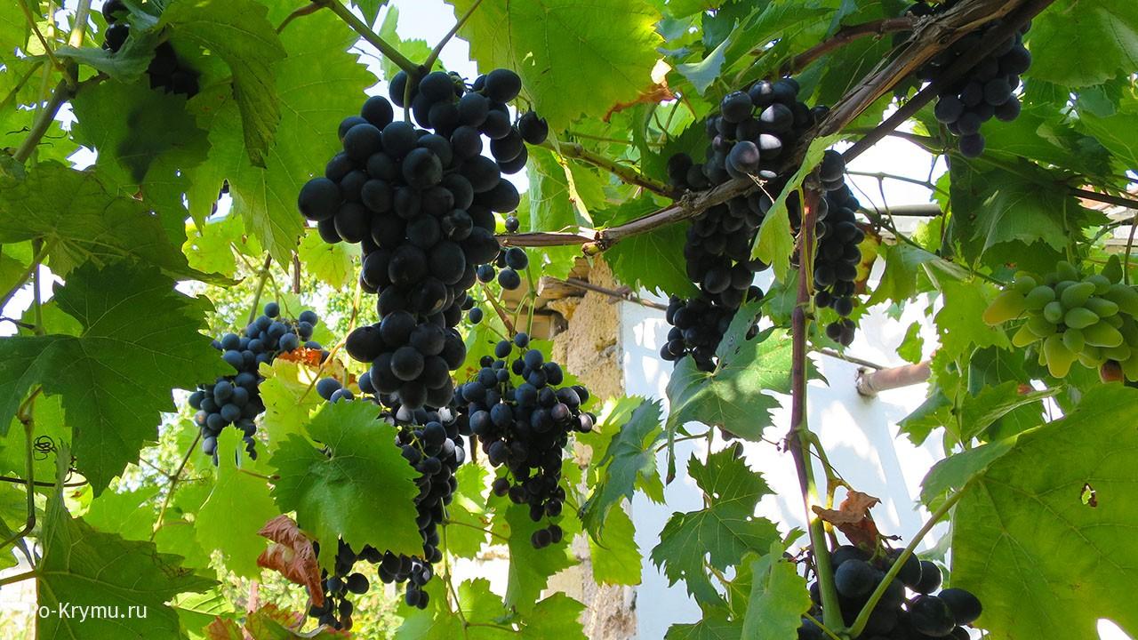 Виноградная лоза в Библии.