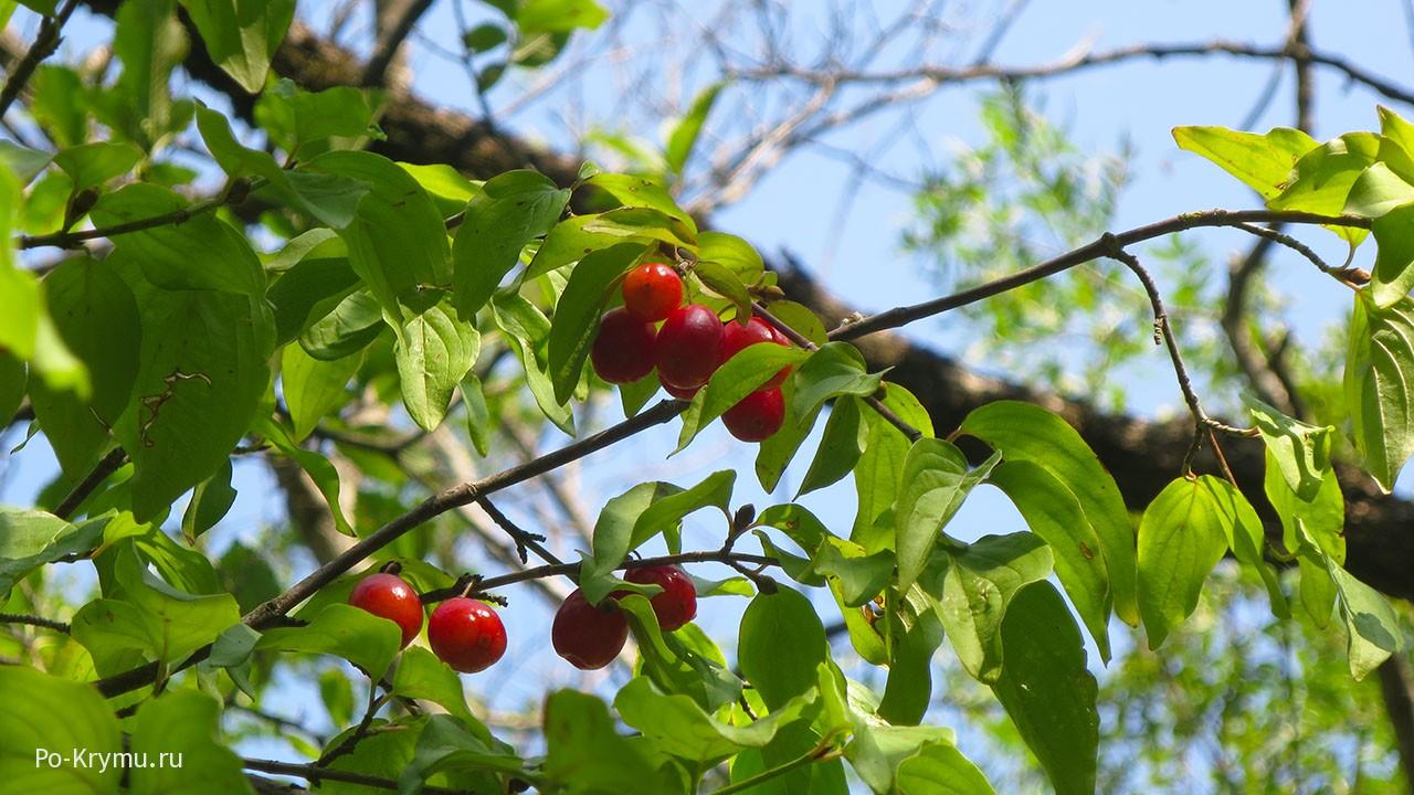 Начало августа в Крыму, начинает спеть кизил