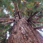 Мамонтово дерево в Алуште