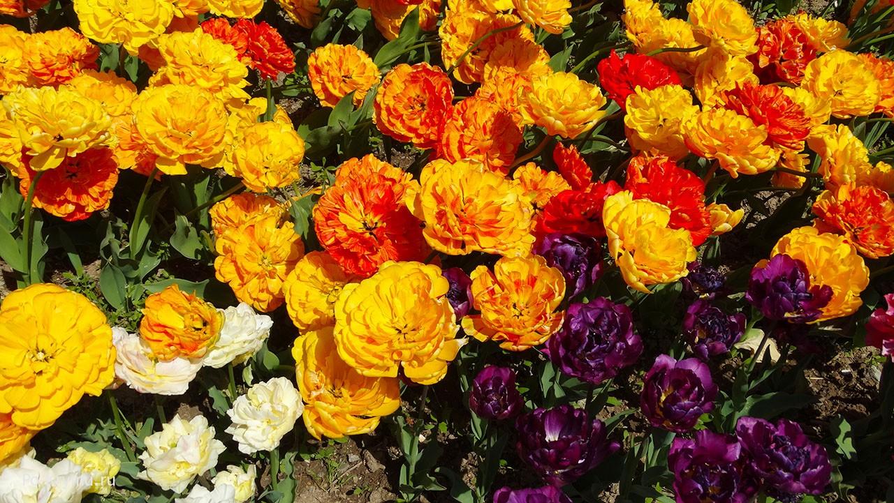 Парад тюльпанов в Никитском.