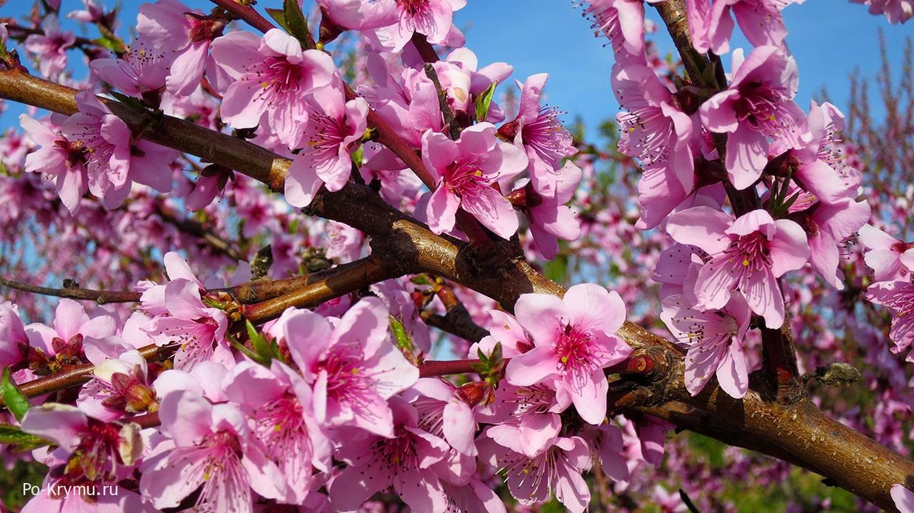 Что цветет в Крыму в апреле?