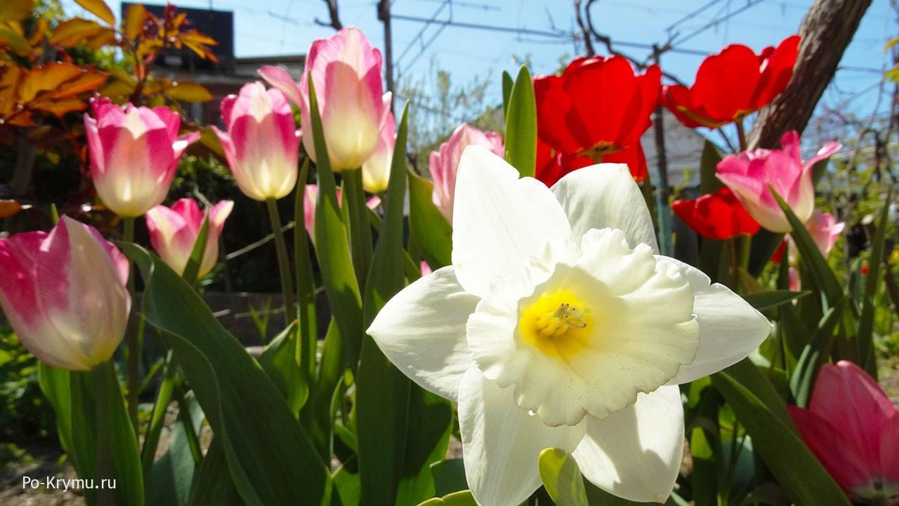 Разнообразие тюльпанов и нарциссов.