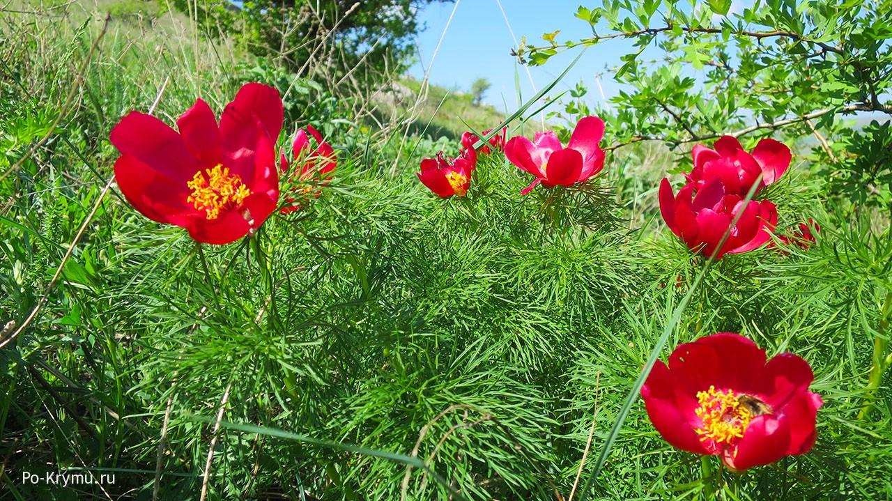 Что цветет в апреле в Крыму у белой скалы - пион тонколистный.