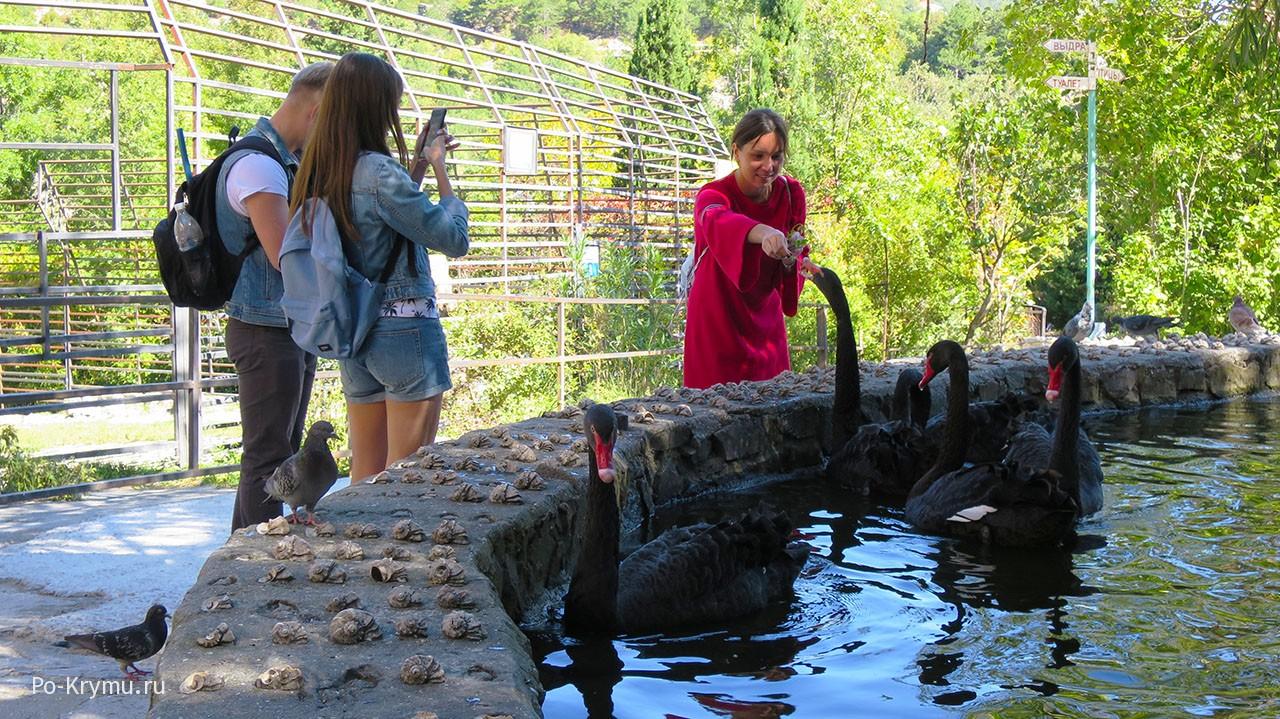 Кормление черных лебедей.
