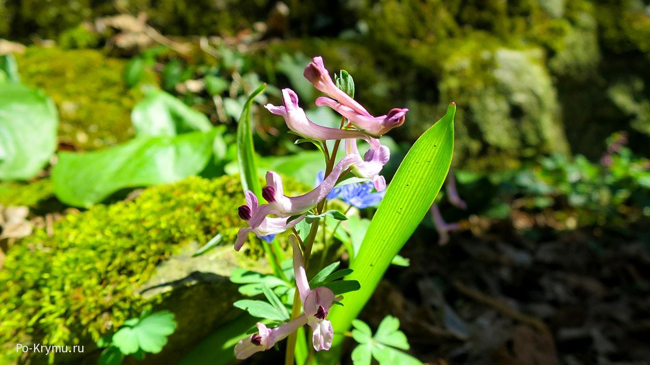 Цветет хохлатка Паческого.