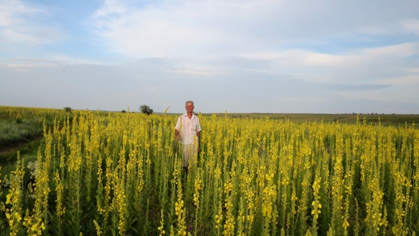 Фото полей коровяка в Крыму