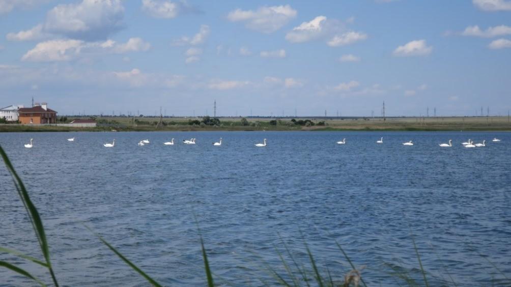 Лебеди по Феодосией на озере Ащиголь