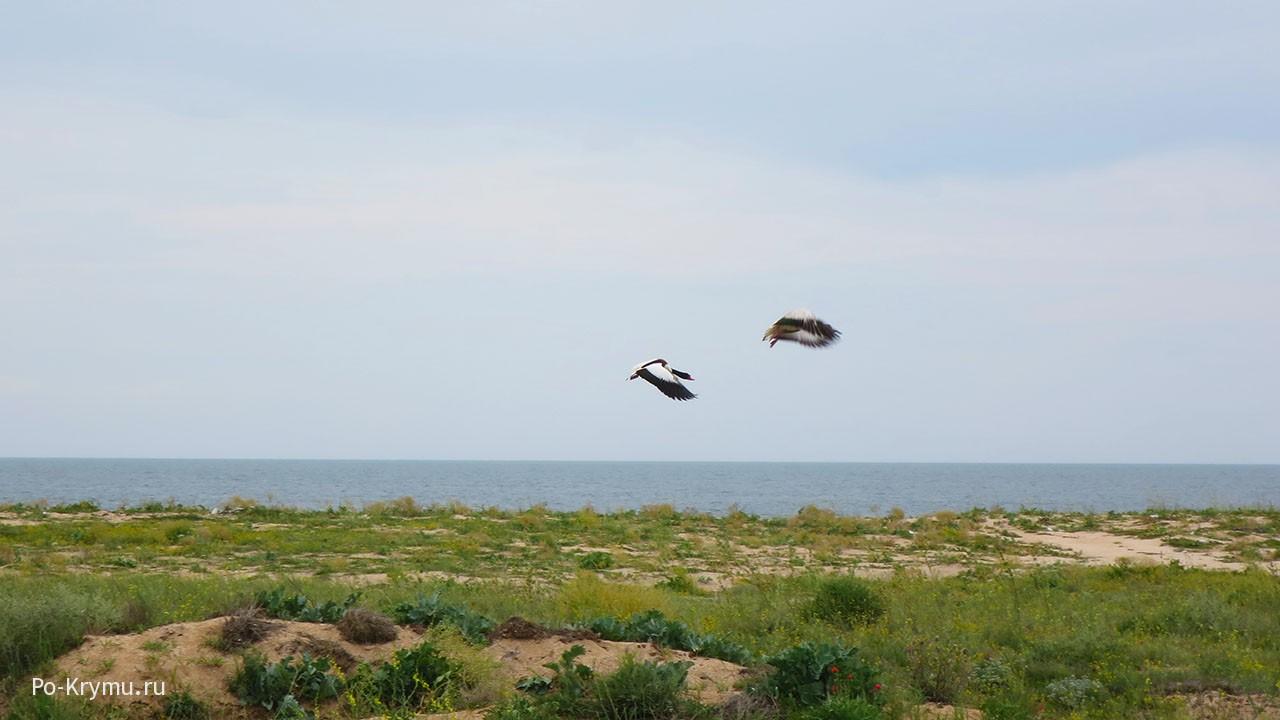 Пляж Арабатской стрелки облюбовали утки пеганки
