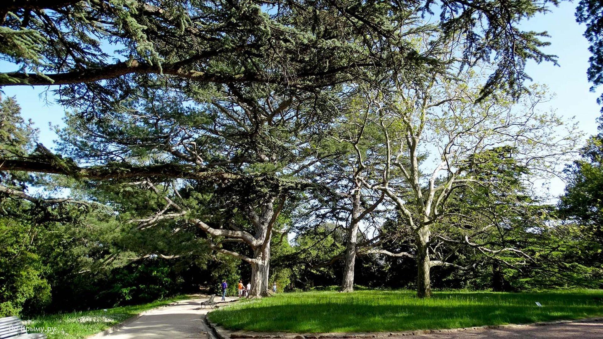 Вечнозеленые гиганты Воронцовского парка в Алупке