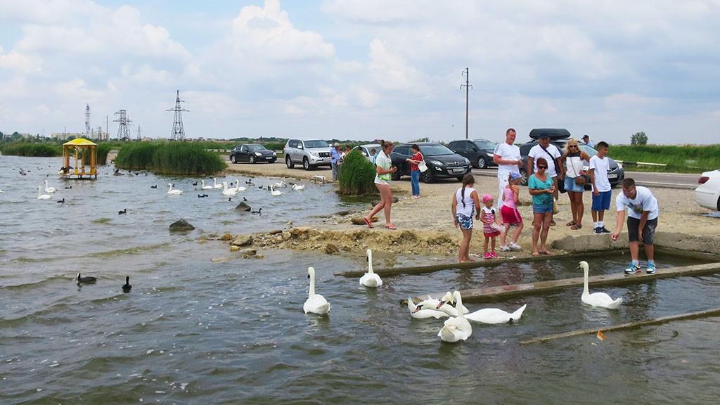 Развлечения для детей в Крыму - кормление диких лебедей