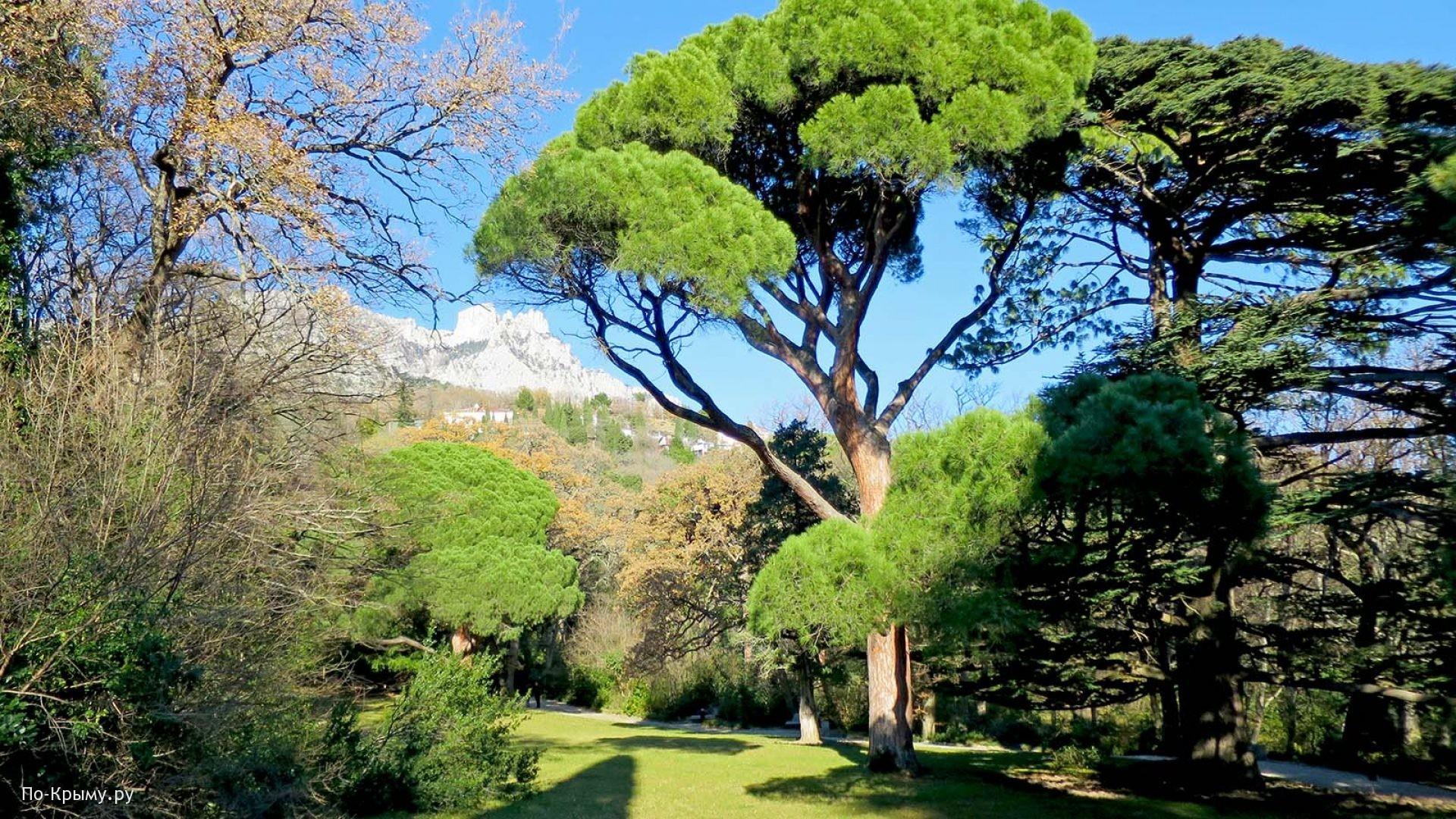 Воронцовский парк, сосна итальянская Pinus pinea L