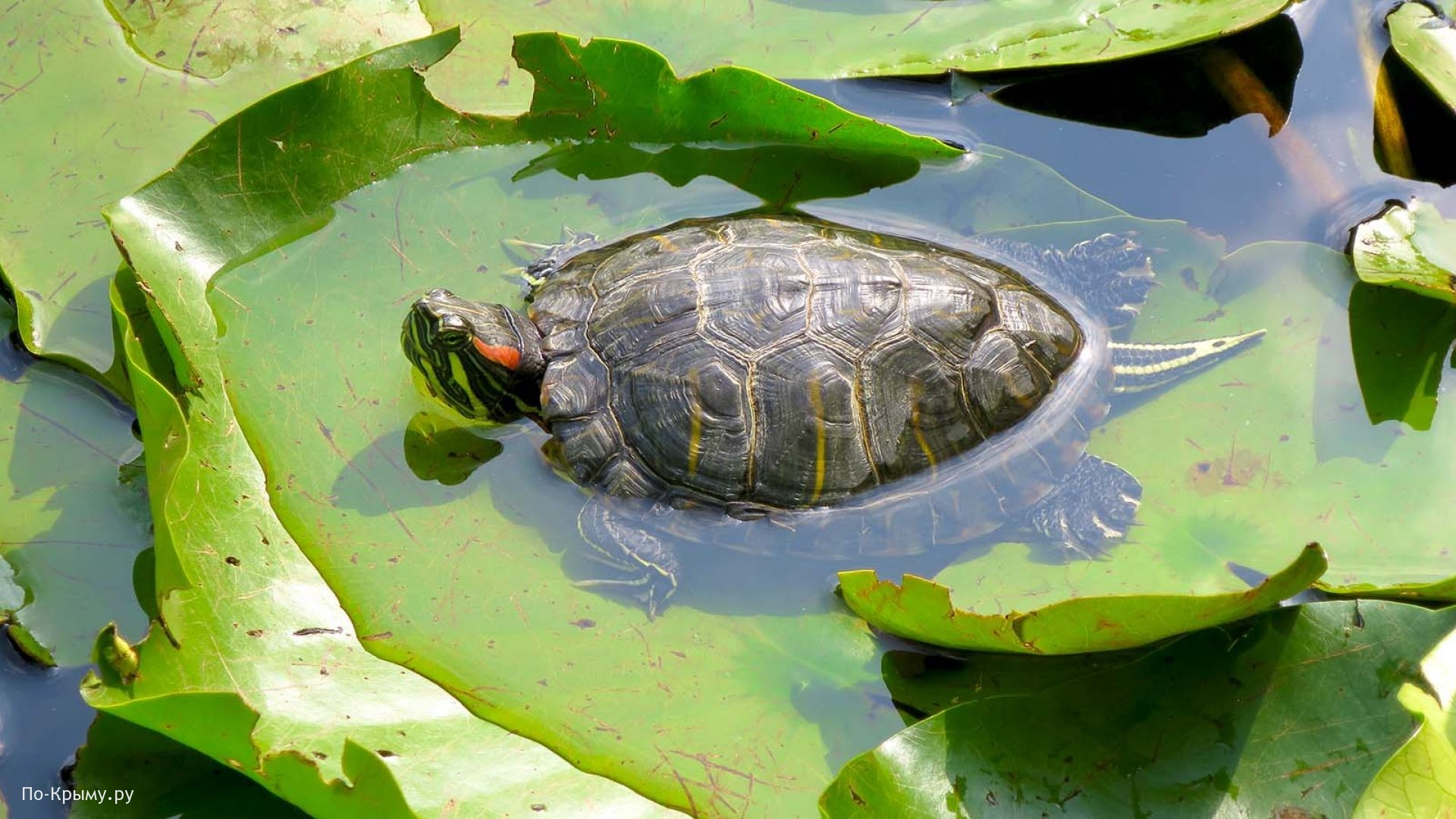 Черепаха на кувшинках