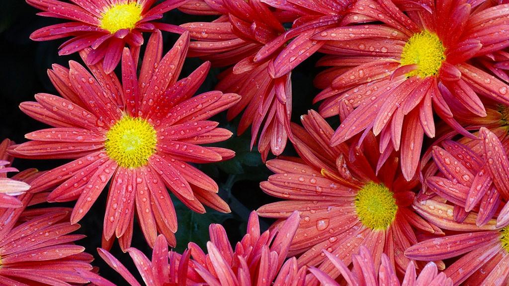 Это тоже хризантемы