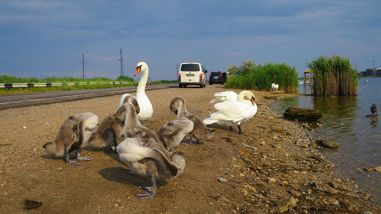 Лебеди чистят перышки после дождя у Евпатории