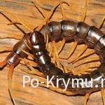 Опасны ли многоножки Крыма – сколопендры, кивсяки, мухоловки?