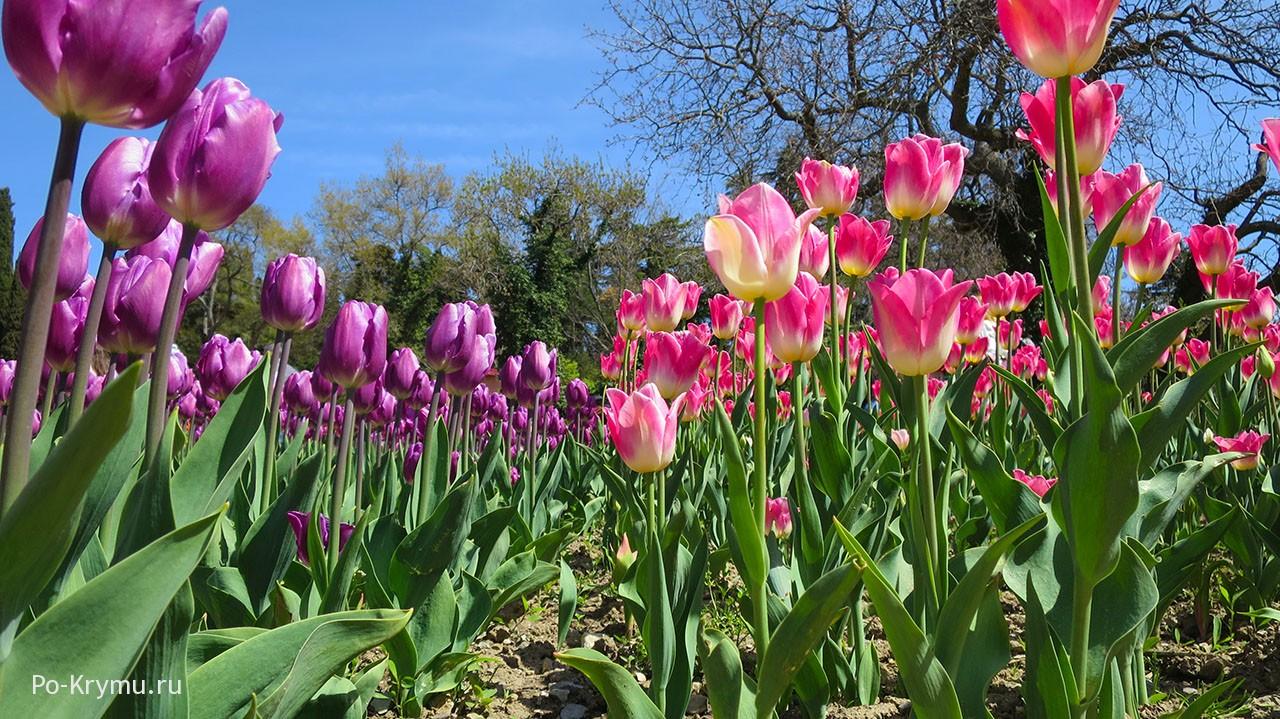 Когда начинается Парад тюльпанов в Никите.