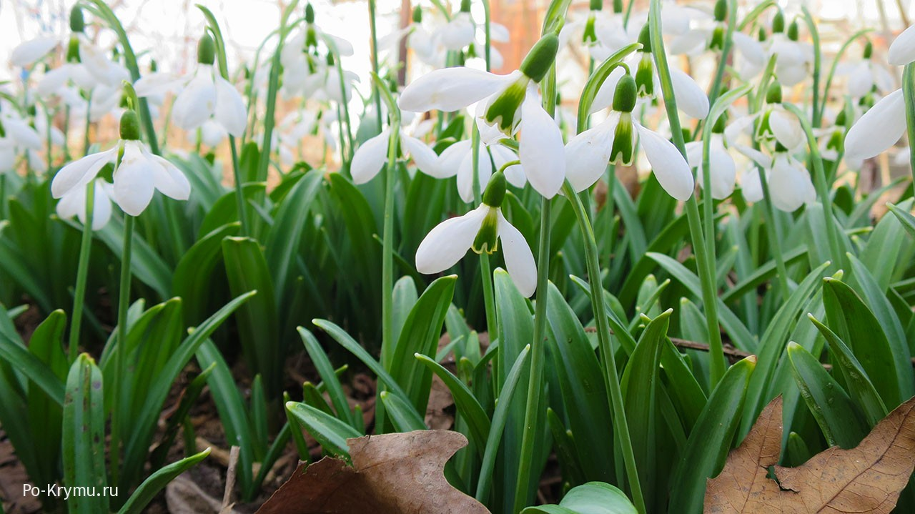Цветут крымские первоцветы - галантусы