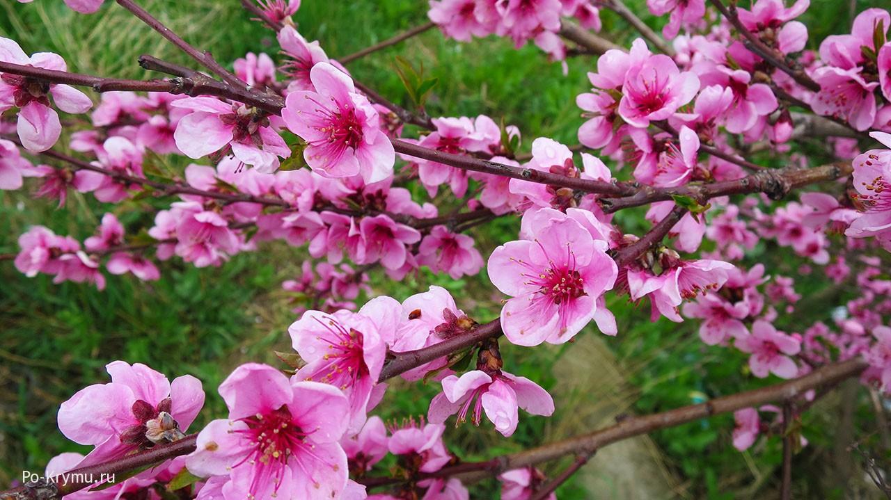 Цветение персика в Крыму