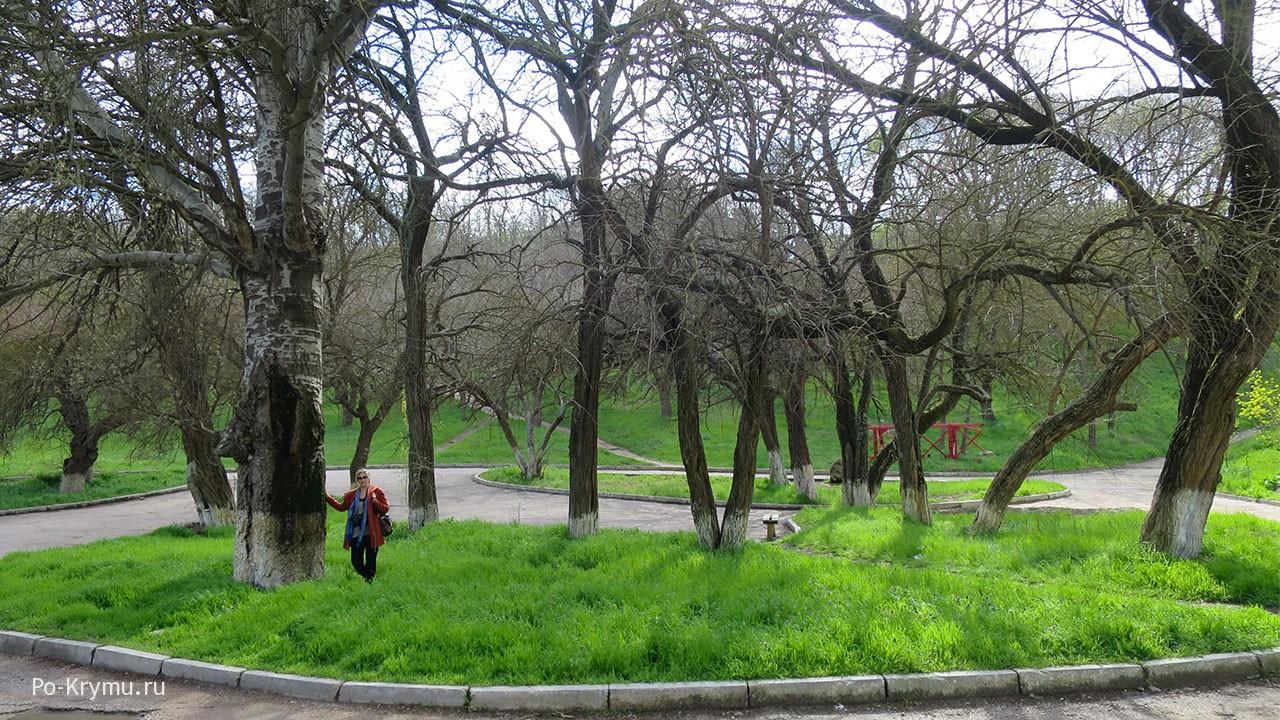 Старый тополь в парке.