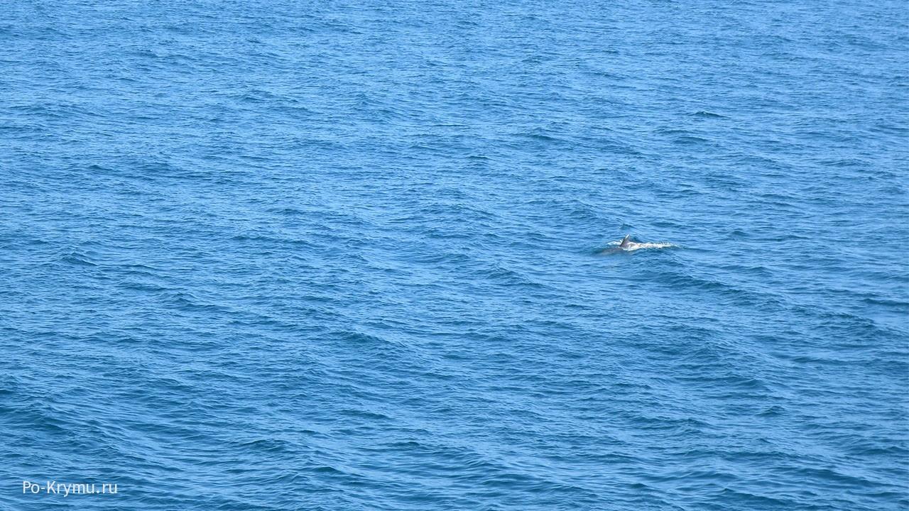 Дельфин в голубых волнах у Алупки