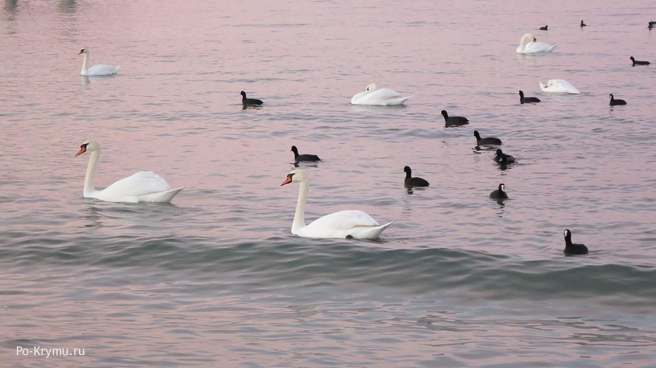 Лебеди ежегодно зимуют в бухтах Севастополя