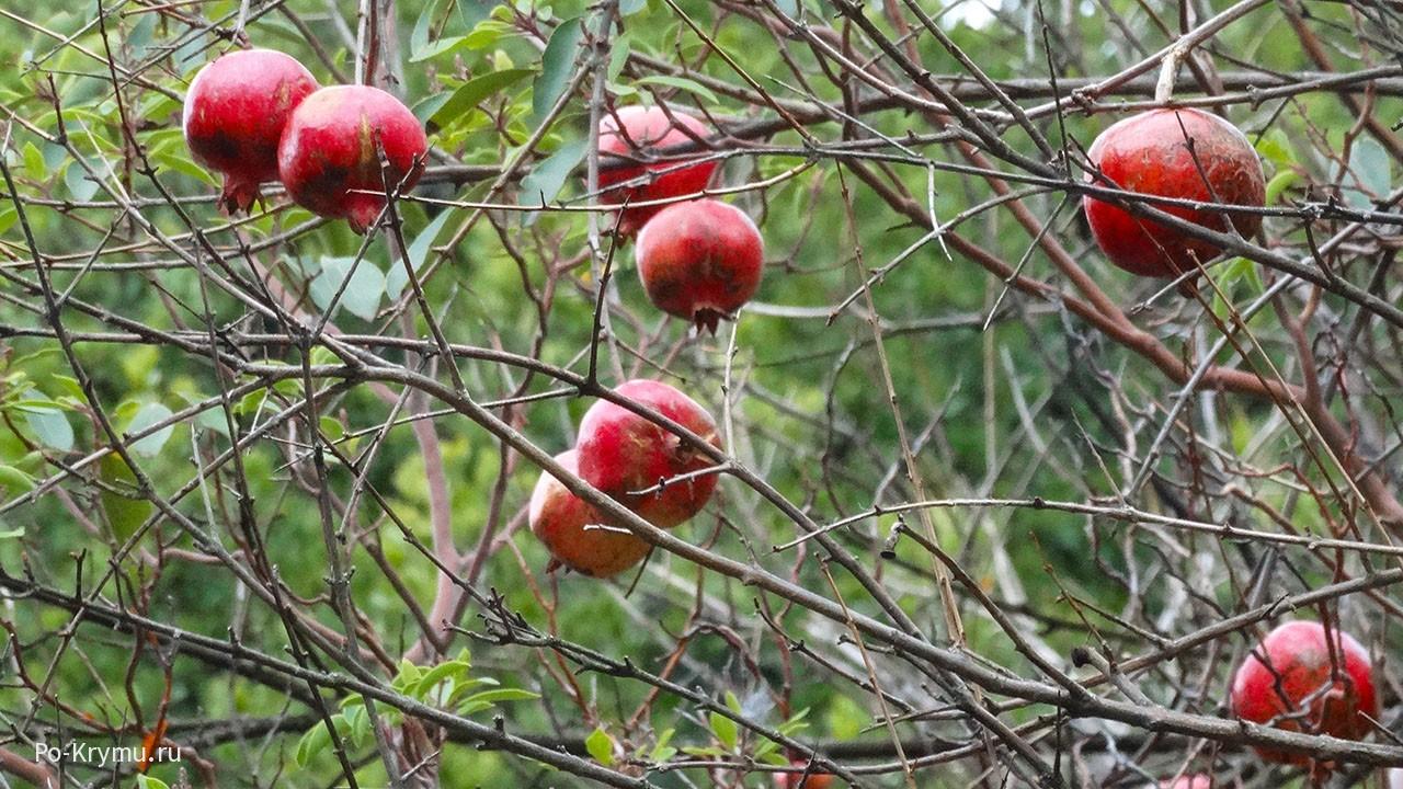 Гранат - адамово яблоко Библии