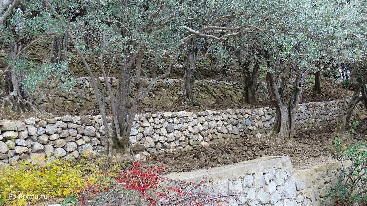 Растеняи в Библии - масличное дерево