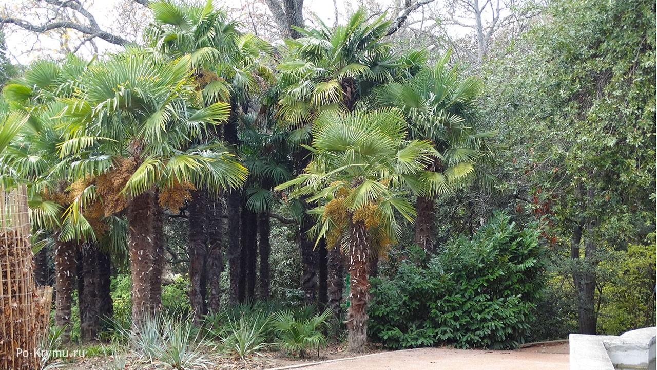 Пальмовые заросли.