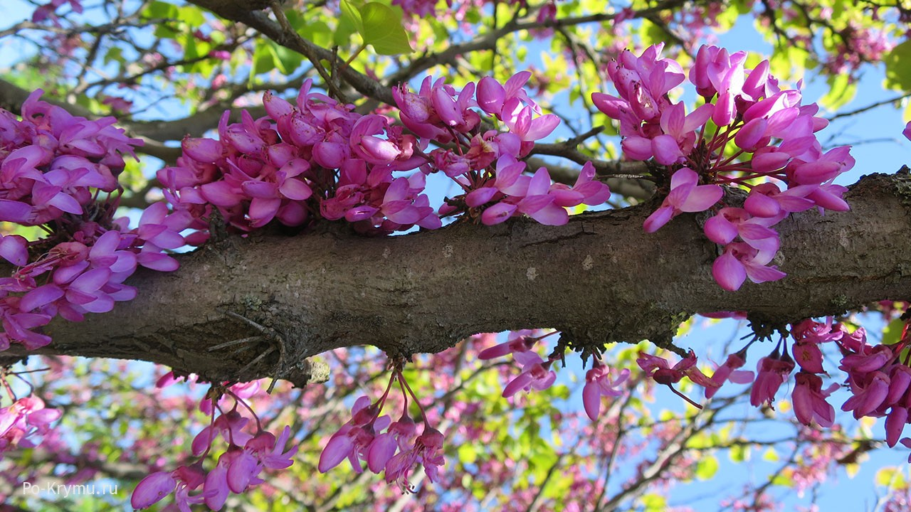 Цветущее иудино дерево в Севастополе