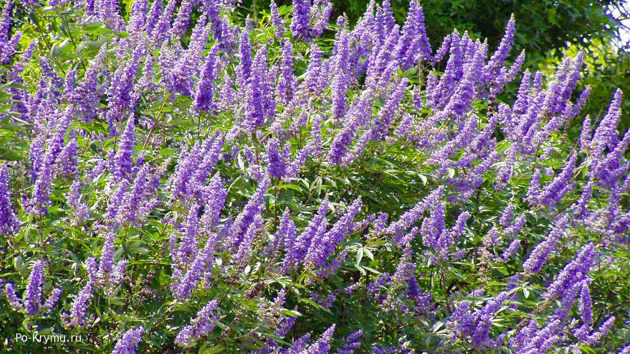 Нежные цветочки иссопа