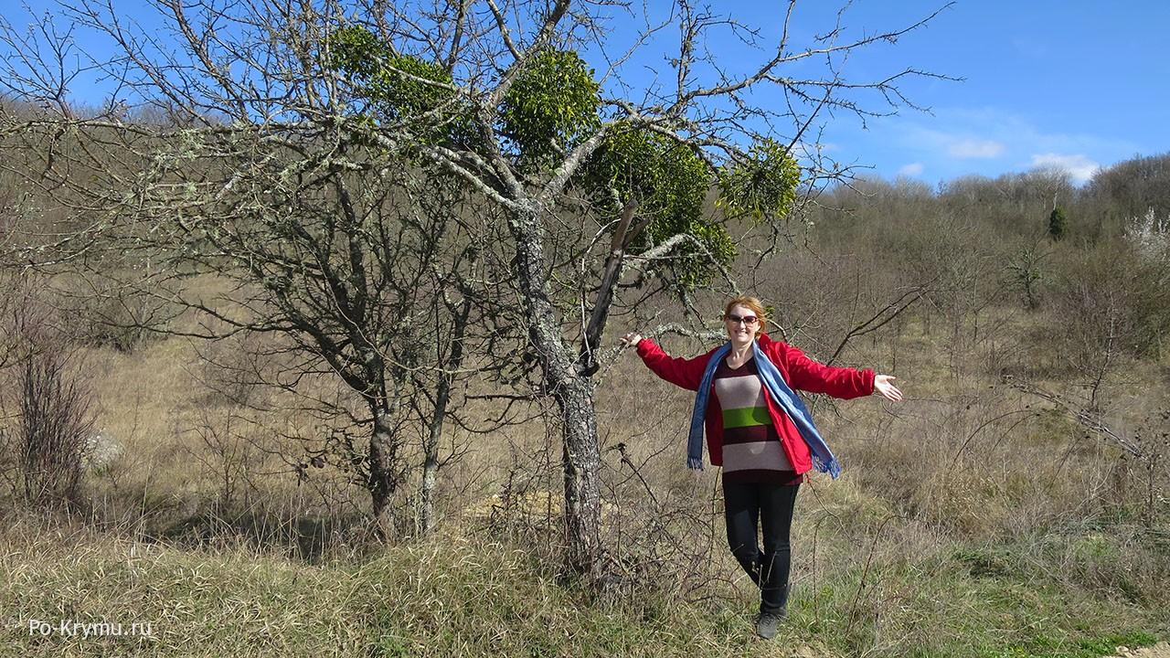 омела паразитирует на крымских деревьях
