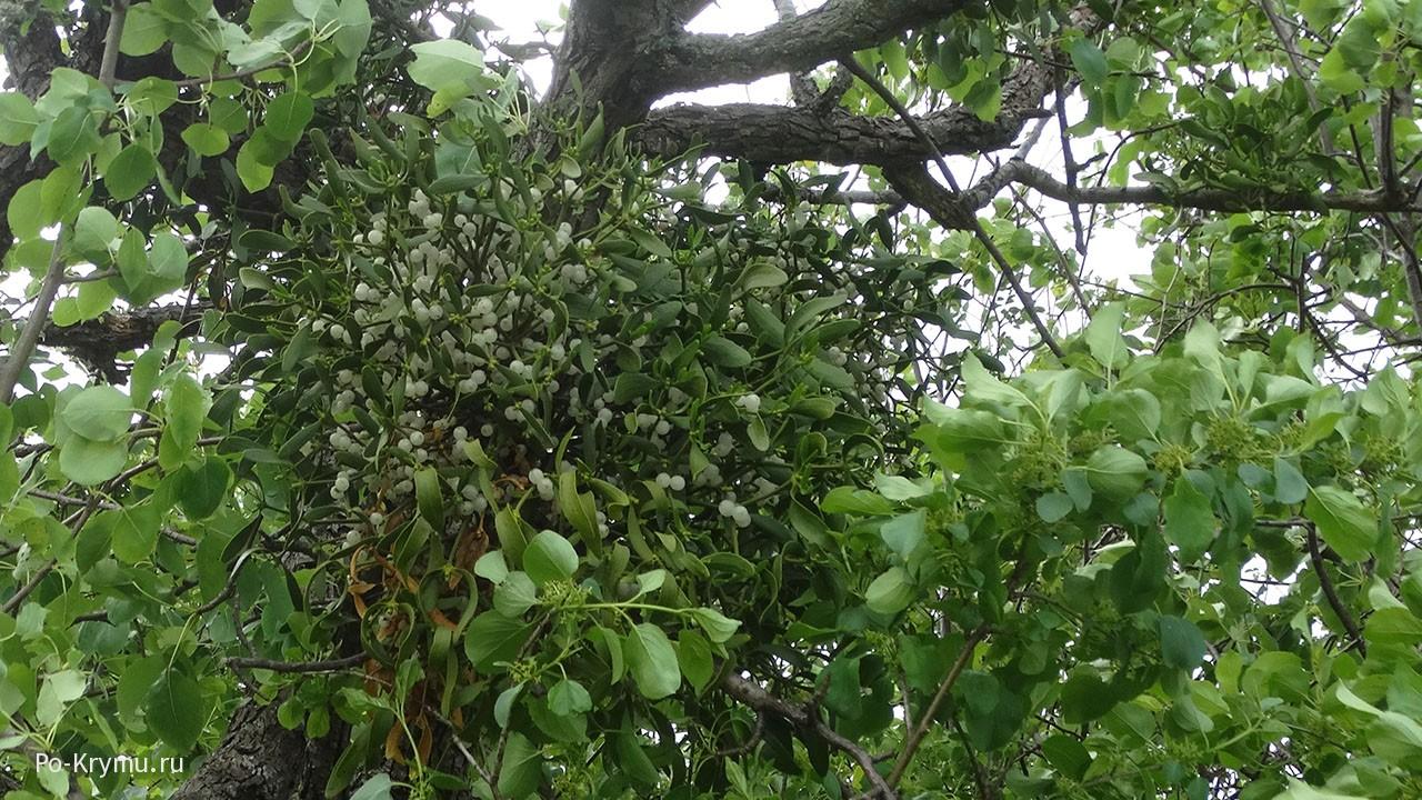 Растение-паразит омела на дереве в Крыму.