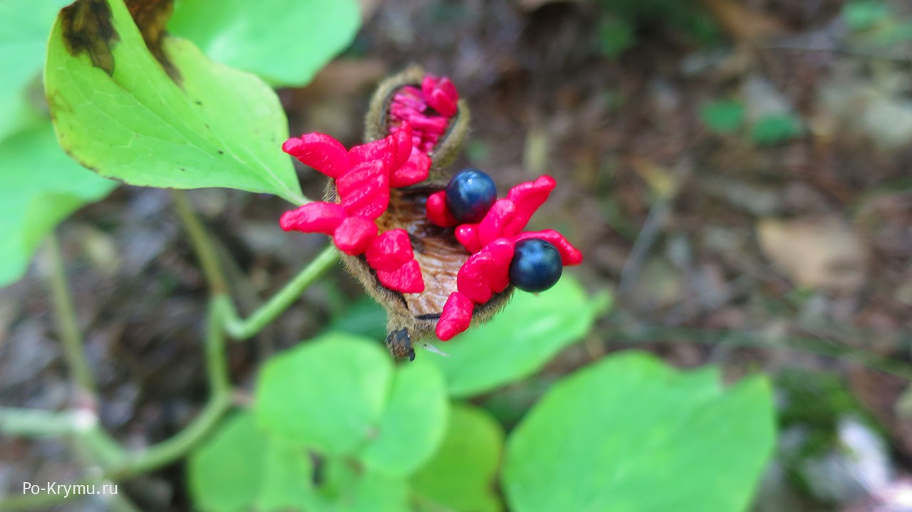 Плод пиона таврического.