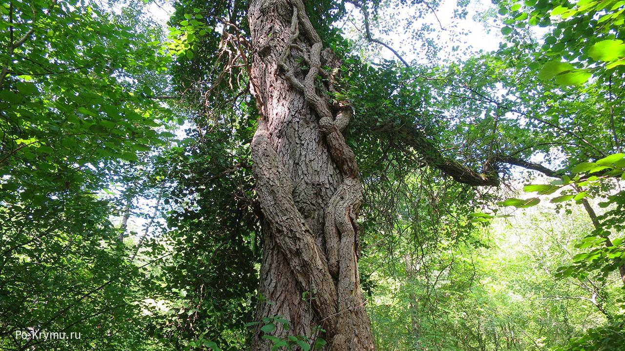 Огромный плющ почти задавил дерево.