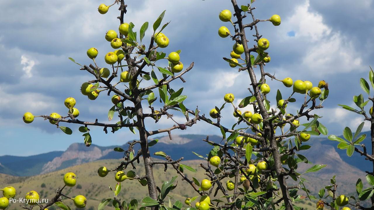Плодовые деревья Крыма