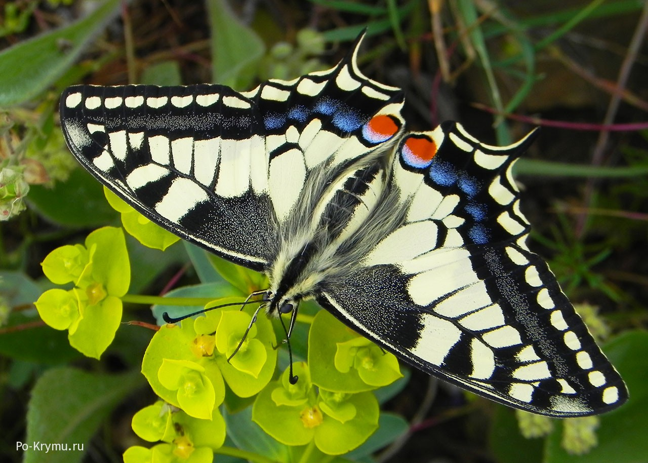 Самые крупные насекомые Крыма - махаон