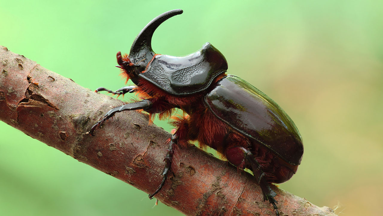 Самые крупные жуки Крыма - жук носорог