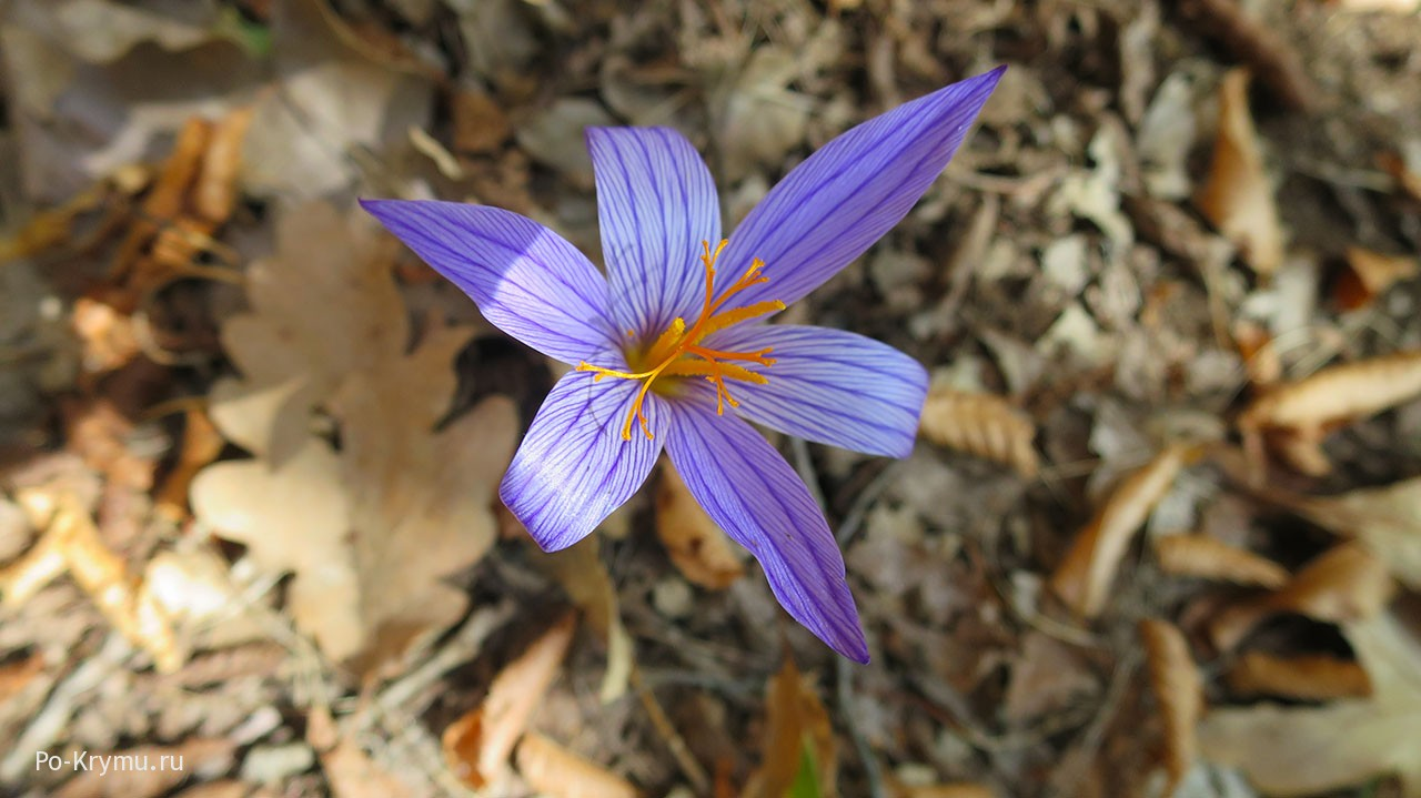 Цветущий шафран