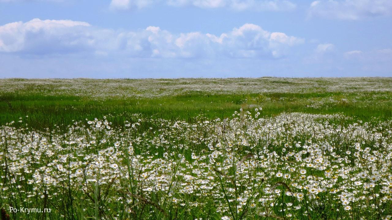 Ромашковое поле в степи за Вулкановкой.