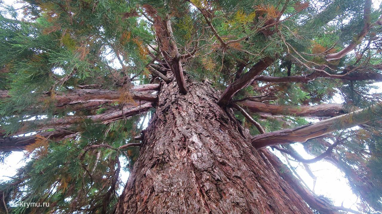 Мамонтово дерево в Алуште.