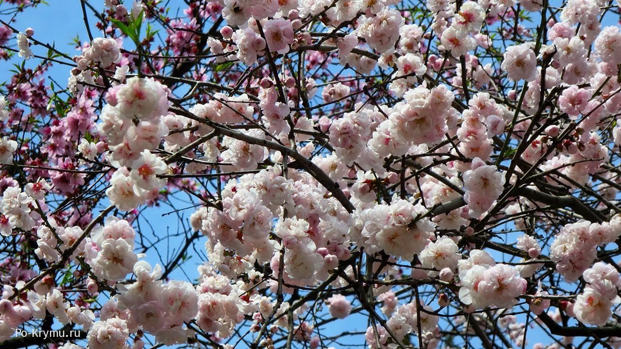 Деревья сакуры в Ялте.
