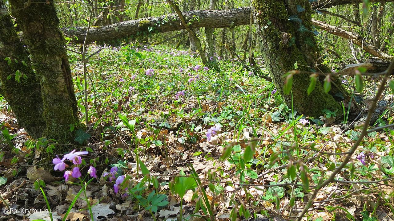 Весенние цветы крымских лесов