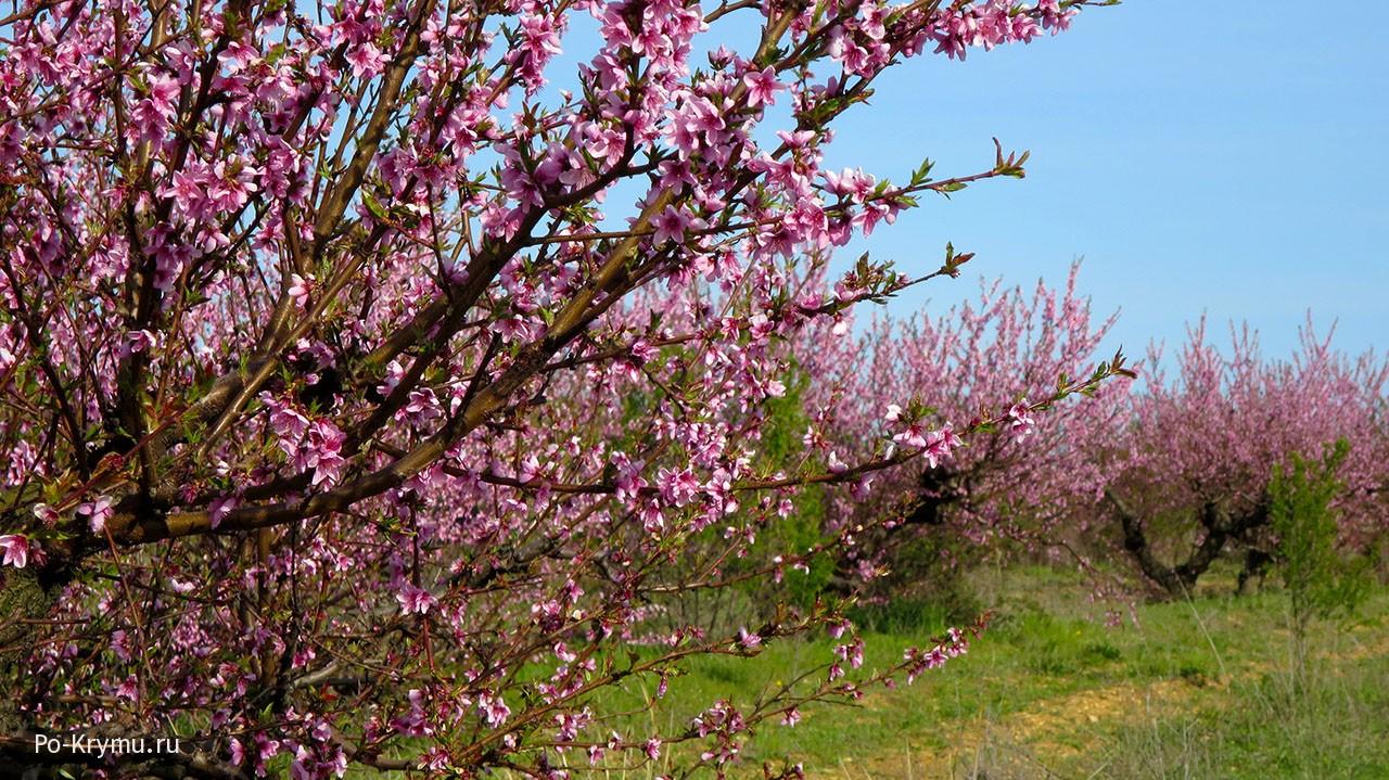 Цветущий персиковый сад под Орловкой.