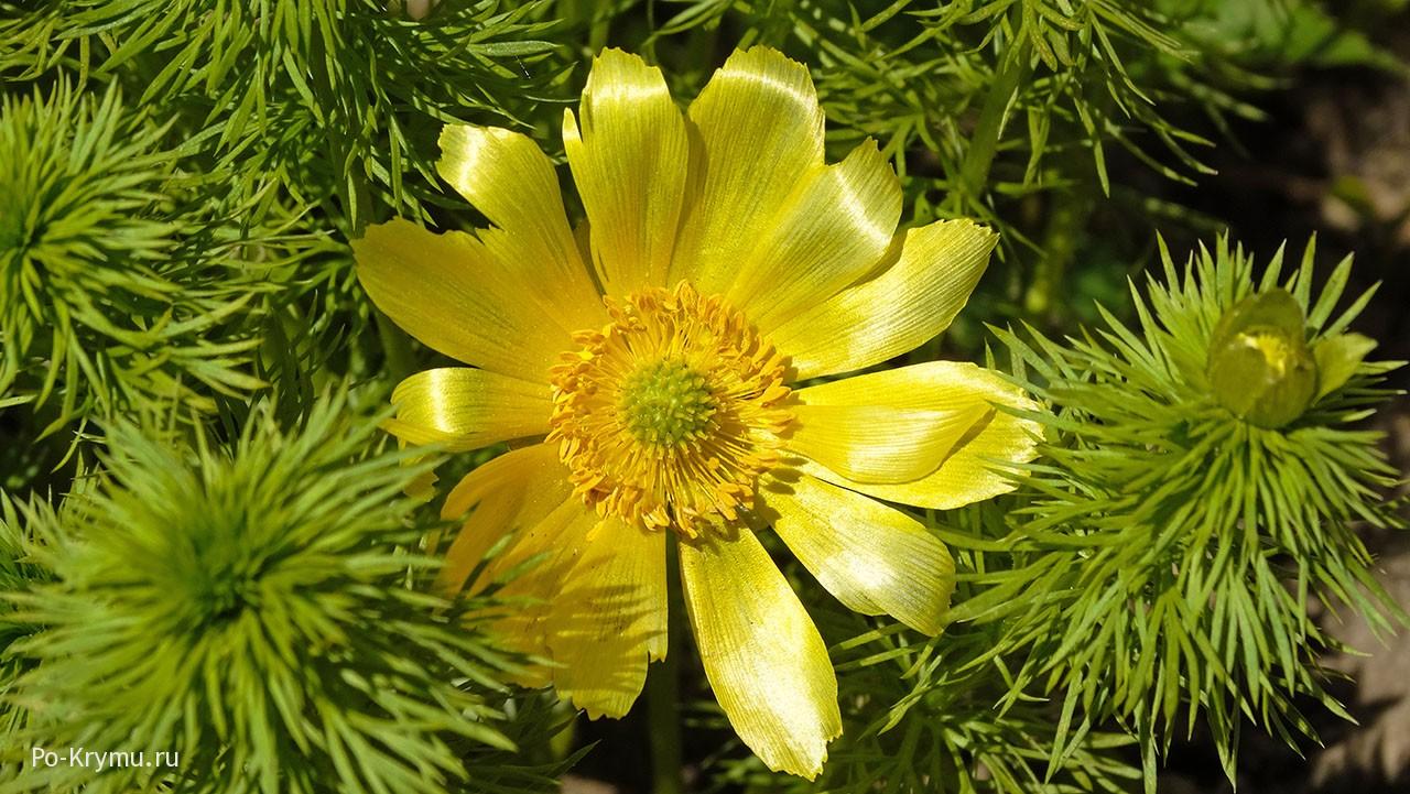 Горицвет весенний