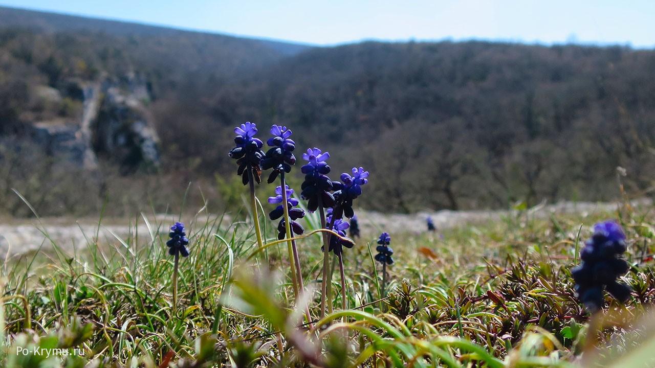 Цветет мускари – мышиный гиацинт.