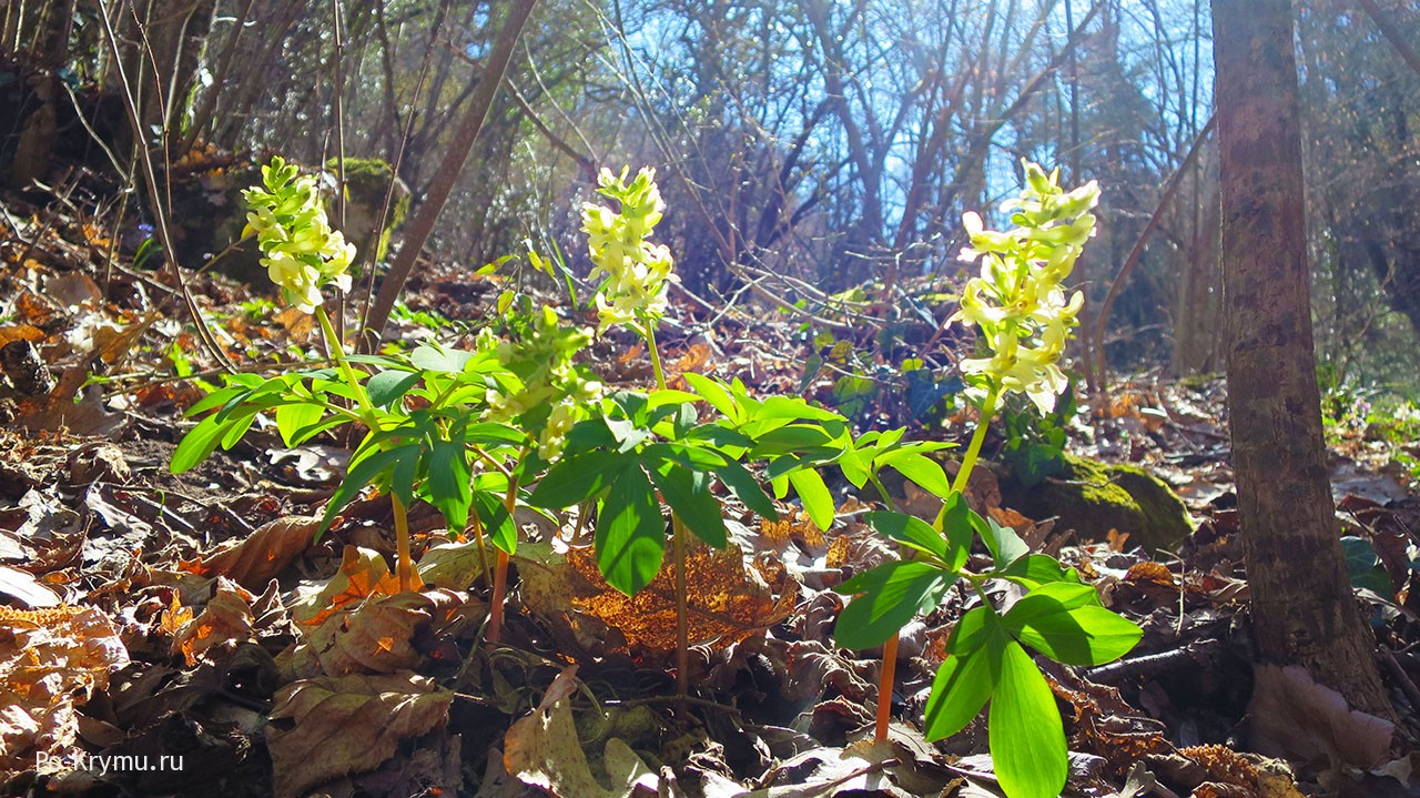Цветет хохлатка Маршалла.